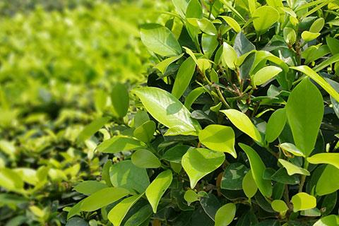 Shrub, Hedge & Tree Trimming Service